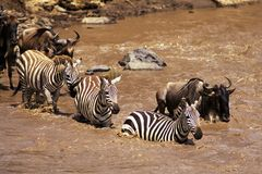 Zebra and Wildebeest Stock Photos