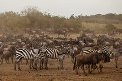 Zebra and wildebeest. Zebra and Gnu in Masai Mara national park in Kenya, East Africa 2011 Royalty Free Stock Photo
