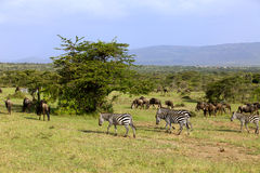 Zebra and wildebeest in Africa Stock Photography