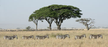 Zebra and wildebeest. Stock Image