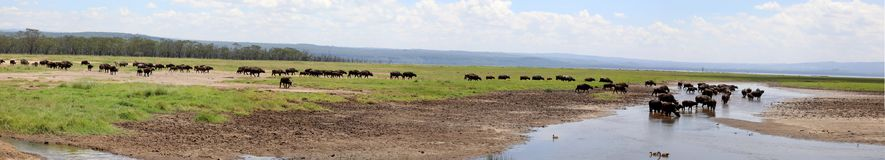 Zebra and wildebeest crossing a river n masai mara stock photos