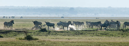 Zebra and wildebeest crossing a stream Royalty Free Stock Photo