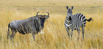 Zebra and wildebeest on grassland in Africa Royalty Free Stock Image