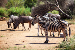 Zebra and wildebeest grazing near a waterhole Stock Photo