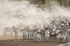 Zebra and Wildebeest in the Great Migration Stock Photos