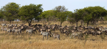 Zebra and wildebeest on migration Royalty Free Stock Photos
