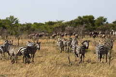 Zebra and wildebeest on migration Stock Photos