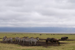 Zebra and wildebeest in Ngorongoro crater. Group of zebras end wildebeest in plain area of Nogorongoro crater during cloudy wheather Stock Photos