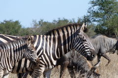 Zebra and Wildebeest. These zebral  was   photographed in  the  Kruger National  Park in  South Africa Stock Images