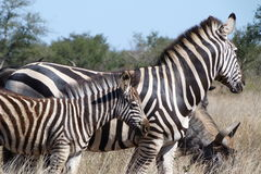 Zebra and Wildebeest. These zebral  was   photographed in  the  Kruger National  Park in  South Africa Royalty Free Stock Photos