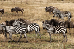 Zebra and Wildebeests. In the savannah of the Serengeti, Africa Royalty Free Stock Photo