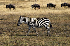 Zebra and Wildebeests. In the savannah of the Serengeti, Africa Stock Photos
