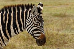 Zebra in wilderness Stock Image