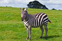 Zebra in the wildlife. Park Royalty Free Stock Photography