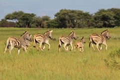 Zebra - Wildlife from Africa - Running Stripes Stock Image