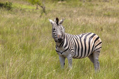 Zebra Wildlife Royalty Free Stock Image