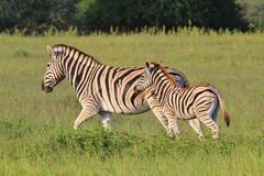 Zebra - Wildlife Babies and Moms - Running with Mom Stock Photos