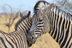 Zebra - Wildlife Background from Africa - Animal Babies and Love Stock Image
