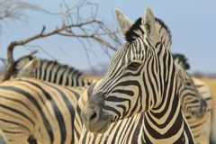 Zebra - Wildlife Background from Africa - Beautiful Contrast Royalty Free Stock Photos