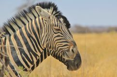 Zebra - Wildlife Background from Africa - Beautiful double stripes Royalty Free Stock Photography