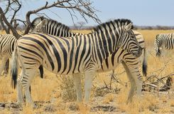 Zebra - Wildlife Background from Africa - Beautiful Stallion double stripes Royalty Free Stock Photo