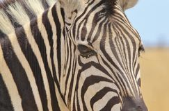 Zebra - Wildlife Background from Africa - Beautiful Stripes royalty free stock image
