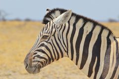 Zebra - Wildlife Background from Africa - Contrast of Beauty Stock Photo