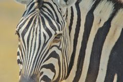 Zebra - Wildlife Background from Africa - Contrast of Stripes Stock Photo