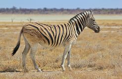 Zebra - Wildlife Background from Africa - Freedom of the plain and endless horizon Royalty Free Stock Images