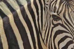 Zebra - Wildlife Background from Africa - Magnificent Striped Beauty Royalty Free Stock Image