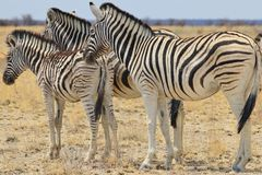 Zebra - Wildlife Background from Africa - Magnificent Striped Family Wonder and Beauty Royalty Free Stock Photos