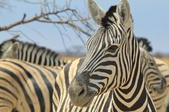 Zebra - Wildlife Background from Africa - Magnificent Striped Wonder and Beauty Royalty Free Stock Photo