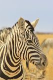 Zebra - Wildlife Background from Africa - Magnificent Stripes of Beautiful Lines Stock Photos