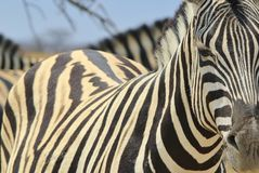 Zebra - Wildlife Background from Africa - Magnificent Stripes of Beauty Stock Photo