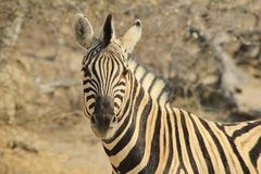 Zebra - Wildlife Background from Africa - Majestic Stripes Stock Photos