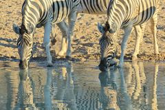 Zebra - Wildlife Background from Africa - Mirror of Beautiful stripes Royalty Free Stock Photo
