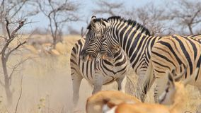 Zebra - Wildlife Background from Africa - Stallion fight and bite Stock Photography