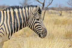 Zebra - Wildlife Background from Africa - Stallion Striped Wonder and Beauty Stock Image