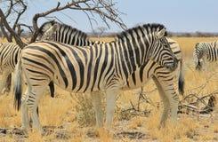 Free Zebra - Wildlife Background From Africa - Beautiful Stallion Double Stripes Royalty Free Stock Photo - 33960795