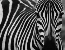 Zebra, Wildlife, Black, Black And White Royalty Free Stock Photography