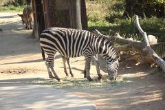 Zebra, Wildlife, Fauna, Terrestrial Animal Royalty Free Stock Image