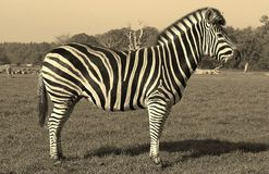 Zebra. At a wildlife park Royalty Free Stock Photo