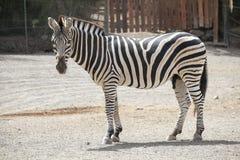 Zebra, Wildlife, Terrestrial Animal, Fauna Stock Photos