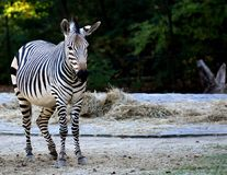 Zebra, Wildlife, Terrestrial Animal, Mammal Stock Images