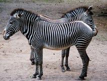 Zebra, Wildlife, Terrestrial Animal, Mammal Stock Photos