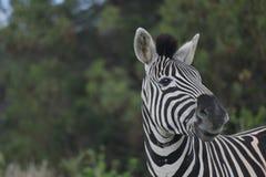 Zebra in Wildpark Kragga Kramma lizenzfreies stockbild