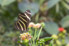 Zebra wing butterfly stock images
