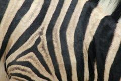 Zebra wzór Fotografia Stock