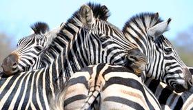 Zebra wzory Fotografia Royalty Free