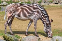 Zebra (Equus Quagga) Stock Photos